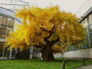 Jinan dvoulaločný v botanické zahradě UK v Praze