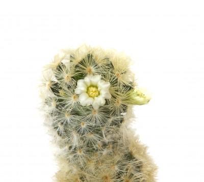 kaktus kvetoucí